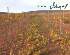 Today in the vines: Trimming